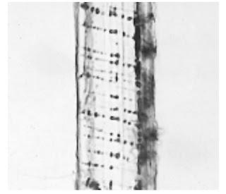 Longitudinal-View-500X-Hemp fibre