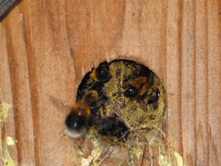 bumble bees in a bird house