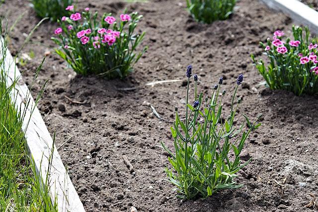 Neilikka ja laventeli
