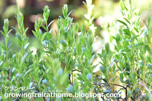 クランベリーの芽吹き-クランベリーの育て方