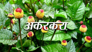akarkara-ke-fayde-benefits-in-hindi