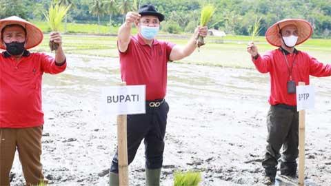 tanam perdana penangkaran padi sawah varietas Cisokan dan Anak Daro