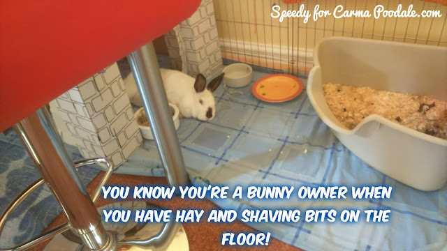 Photo of Speedy the house bunny, saying you know you're a bunny owner when....