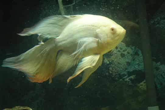 Oscar fish buying