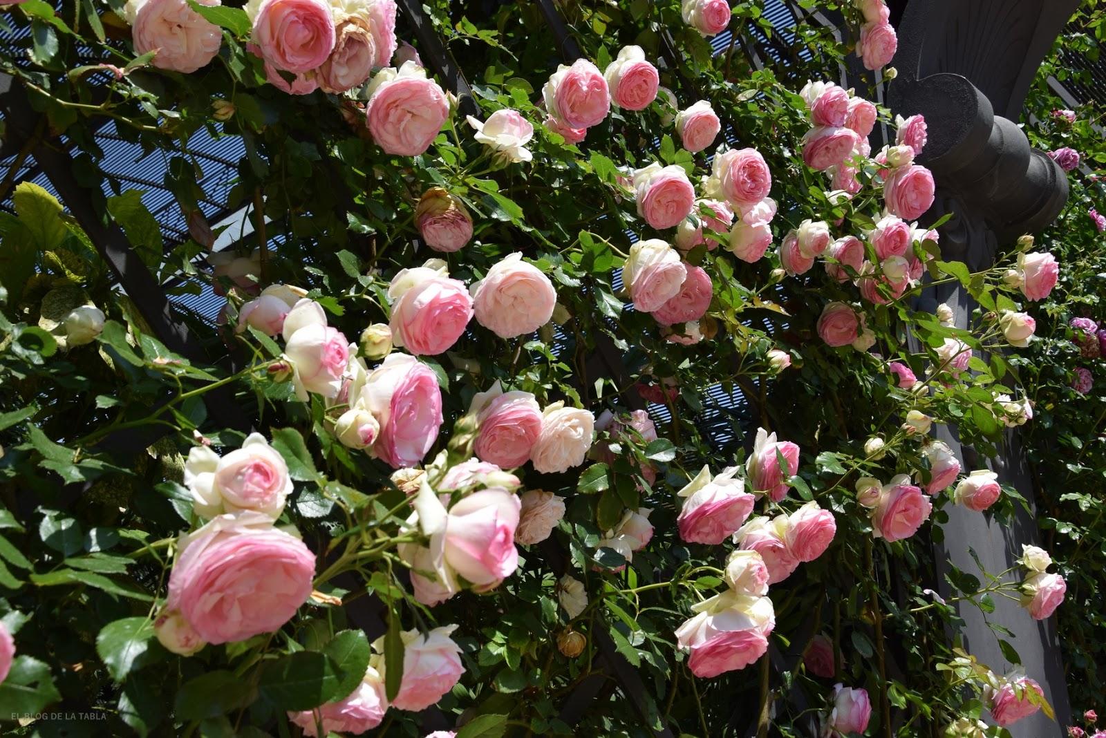 rosal trepador de la colección romántica de Meilland