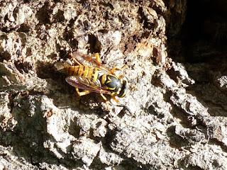Syrphe vaillant - Spilomyia alcimus