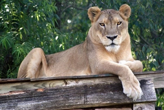 Lion, Wild Animals,