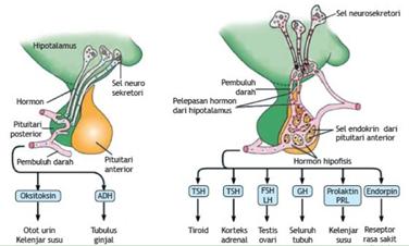 hormon yang dihasilkan kelenjar hipofisis