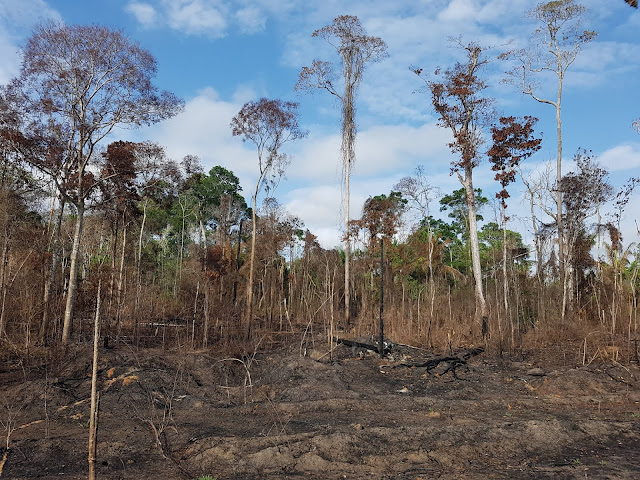 Epicentre of major Amazon droughts and fires saw 2.5 billion trees and vines killed