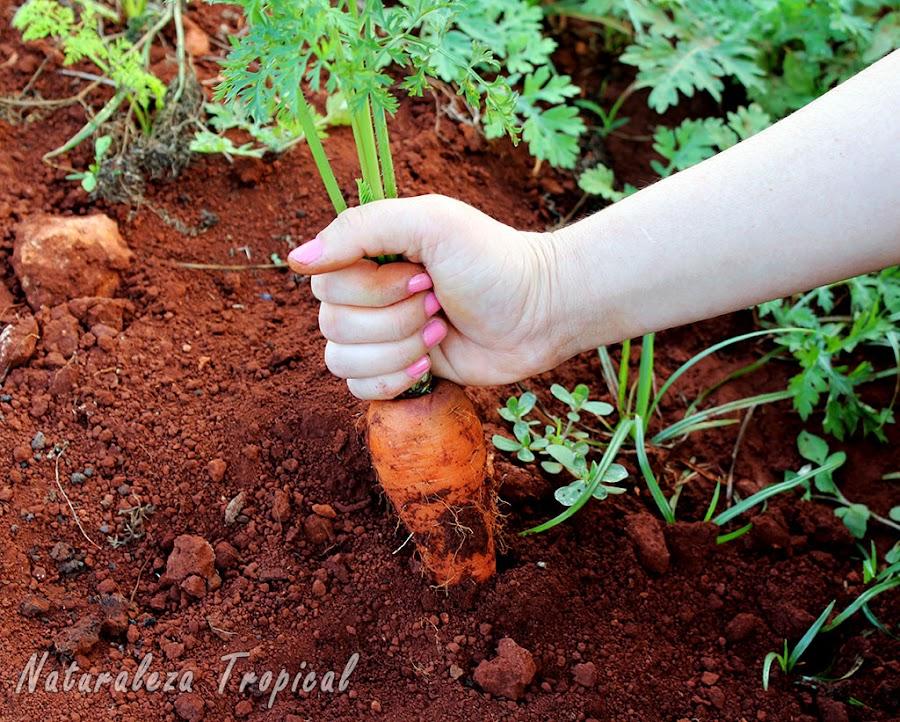 Extracción manual de una zanahoria (Daucus carota)