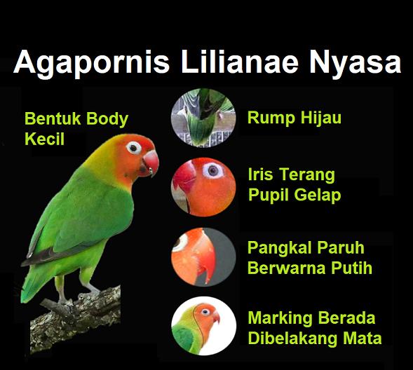 Mengetahui Ciri-Ciri Lovebird Nyasa Asli