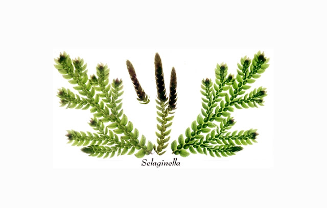 Pengertian dan Ciri Lycophyta