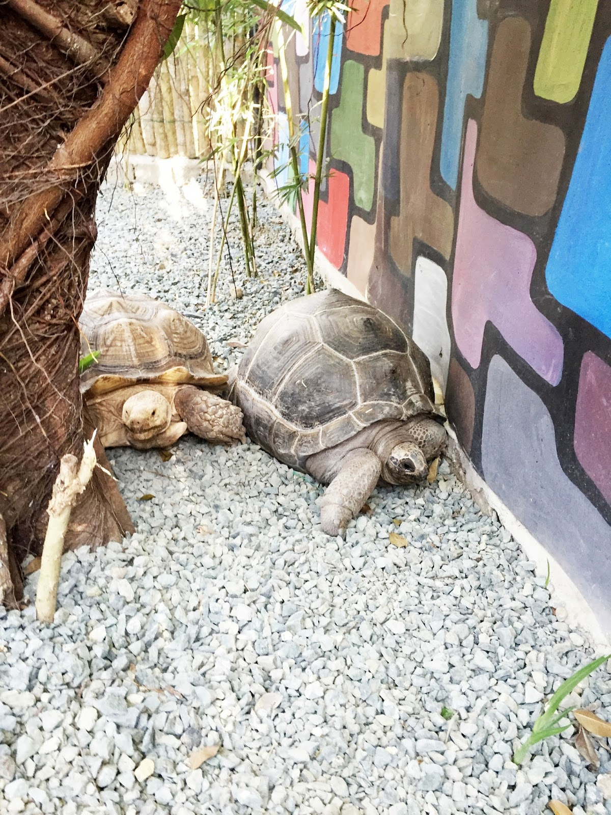 couple tortoise at picnic grove mini zoo