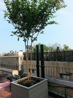 cedar custom built planter with grey solid stain crepe myrtle rooftop garden by Todd Nappi New York Plantings.jpg