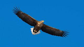 Djurrikets slarvigaste fågel, havsörnen. Har vissa saker gemensamt med hantverkare.