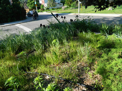 Toronto Riverdale Summer Front Garden Cleanup Before by Paul Jung Gardening Services--a Toronto Organic Gardener