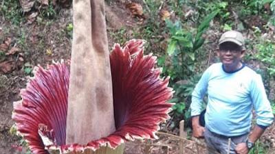 Amorphophallus Mekar Sempurna Di Palupuah-Agam