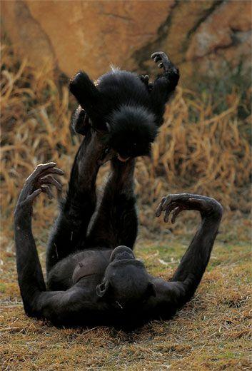 dimensione del pene dello scimpanzé