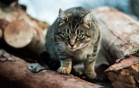 Cats in Australia Kill Over 2 Billion Wild Animals Each Year