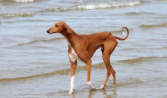 Azawakh Köpeğinin Özellikleri