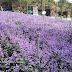 Cameron Lavender Garden, Cameron Highlands, Malaysia