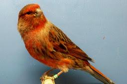 Daftar Harga Burung Kenari Umur 2 Bulan dan 3 Bulan Dari Berbagai Jenis
