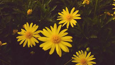 Papel de Parede hd Flores Amarelas