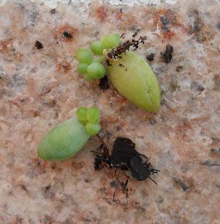 reproducción por esqueje de sedum morganianum