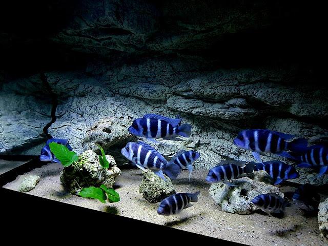 Mengenal Ikan Frontosa Si Ikan Cichild Dari Danau Tanganyika