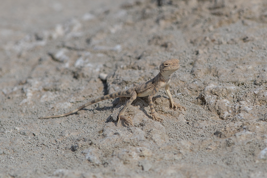 Spotted Toad-headed Agama Phrynocephalus maculatus