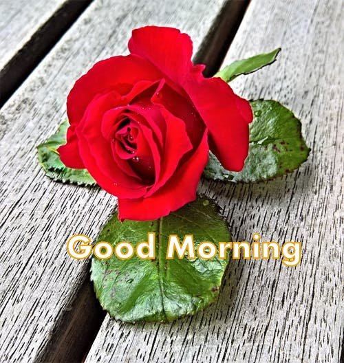 Red Rose Good Morning Image