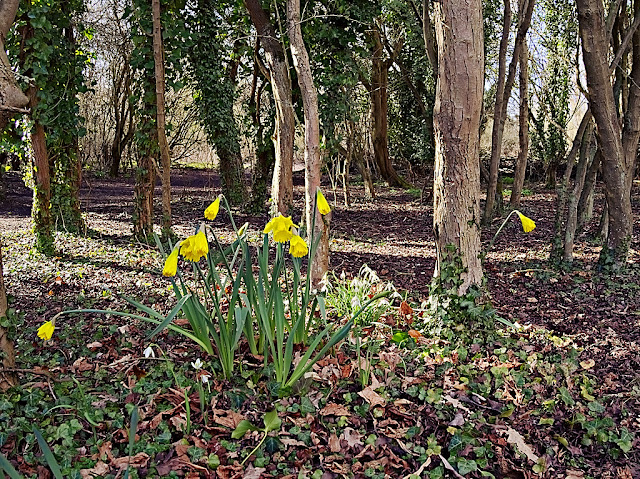 A small clump of flowereing daffodils shine bright yellow among the trunks and leaf litter