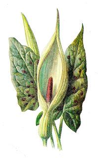 flower wildflower image botanical art