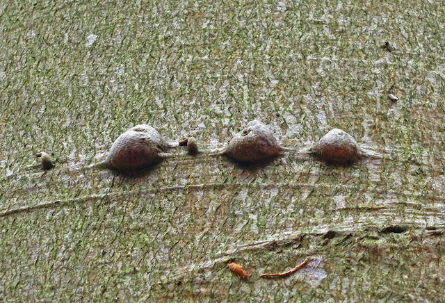 Three lumps on bark of living beech.