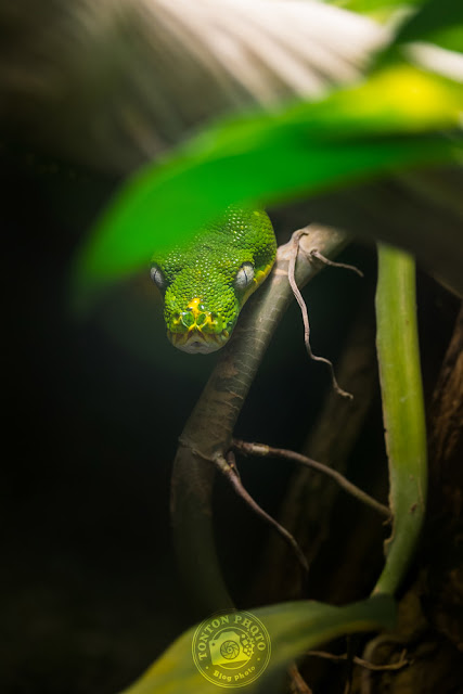 Green tree python, Beauval Zoo © Clement Racineux / Tonton Photo