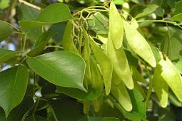 शीशम (rosewood) के वृक्ष का बीमारियों में ऐसे करे इस्तेमाल