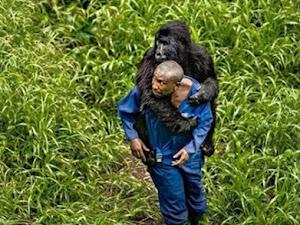 Gorila huérfana se aferra a su cuidador como si fuera su madre