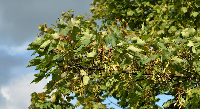 Seeds (Samaras) on sycamore or maple. 7th August 2020.