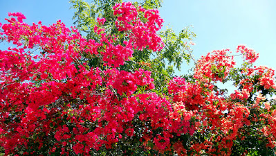 Pink and Orange Bougainvillea