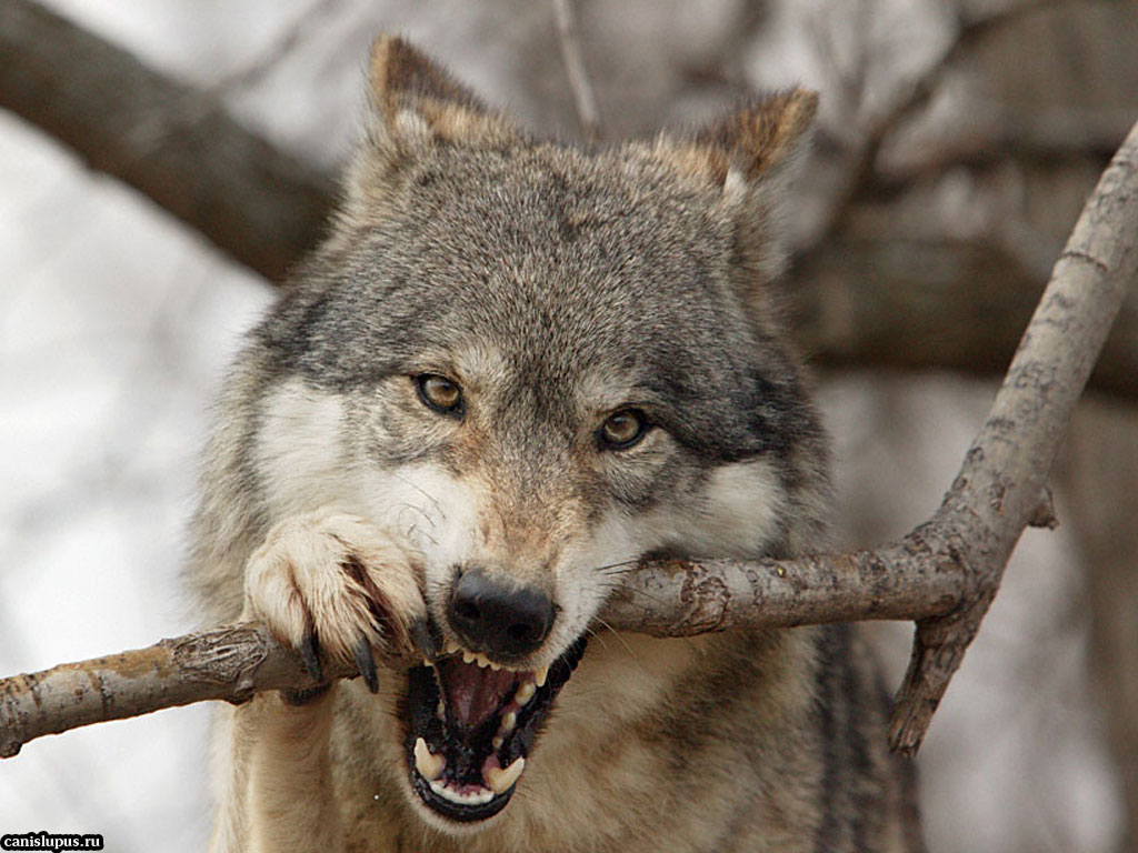 Wolves: Inspired Admired: Inspired By Wolves: 35 Beautiful Photos