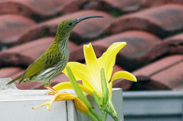 Streaked Spiderhunter, just out side of Puncak Inn front door