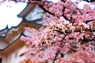 flores de cerejeiras