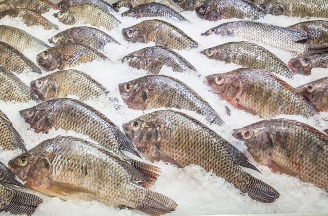 Berikut adalah Supplier Jual Ikan Nila Terbaik di Sofifi, Maluku Utara