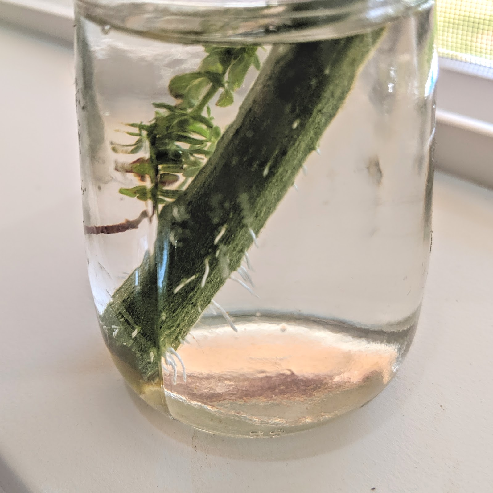 Rooting Tomato Cutting in Water