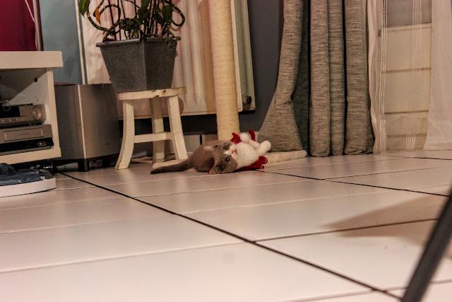 Adopter un chaton british shorthair, lifestyle, les petites bulles de ma vie