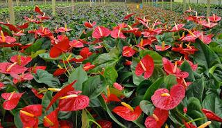 O antúrio é uma planta ornamental com boa adaptação às diferentes regiões brasileiras. É cultivado em todo o Brasil, sobretudo em lugares que apresentam ambiente úmido e fresco.