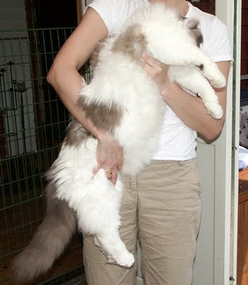 Ragdoll Cat Breed - Pets Cute and Docile