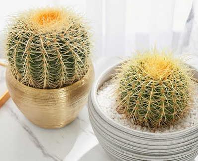 วิธีเลี้ยง ต้นกระบองเพชร Cactus แคคตัส ต้นตะบองเพชร