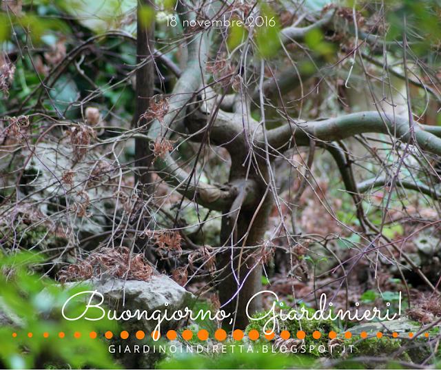 acero giapponese (acer palmatum dissectum ornatum - l'agenda del giardino e del giardiniere - un giardino in diretta