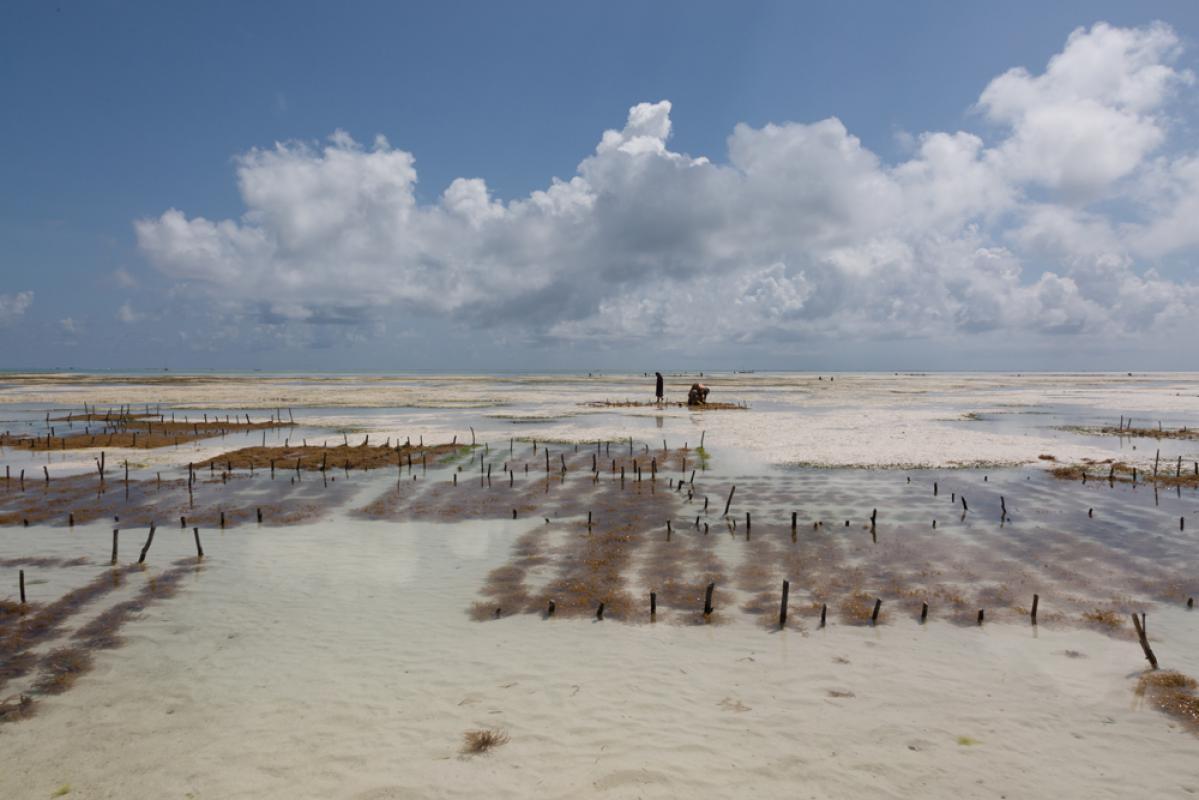 Выращивание морских водорослей на Занзибаре